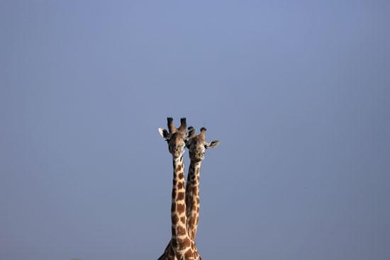 Two dwarf giraffes, Uganda and Namibia (3)