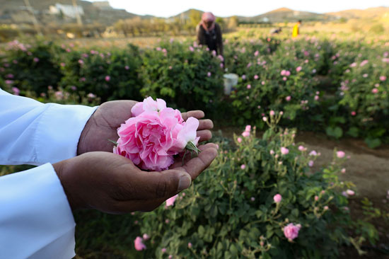 The city of roses in Saudi Arabia turns into a rosy plate that blossoms during Ramadan (9)