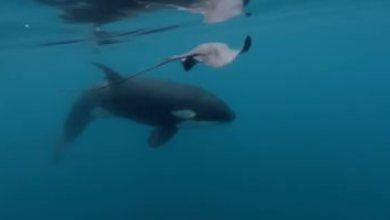 حتى الكائنات البحرية ممكن تغرق.. الحيتان ميقدروش يعيشوا فى الماء على طول