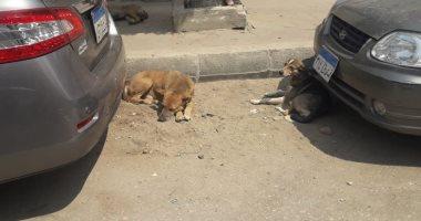قارئ يشكو من انتشار الكلاب الضالة في المنطقة السادسة بمدينة نصر