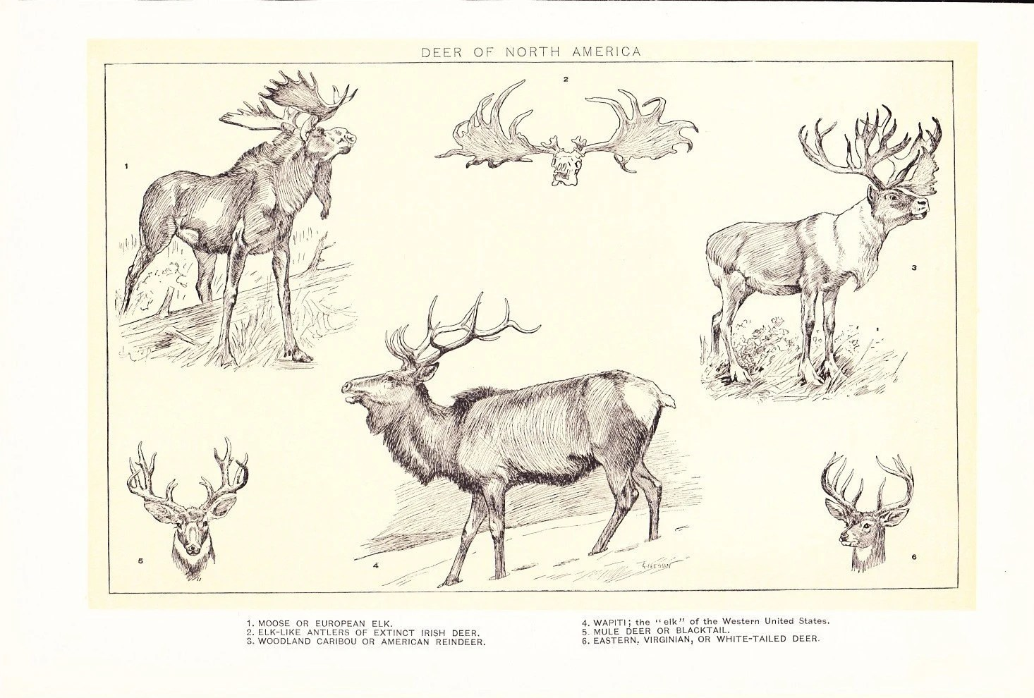 Animal Print Deer Of North America Vintage By Holcroft