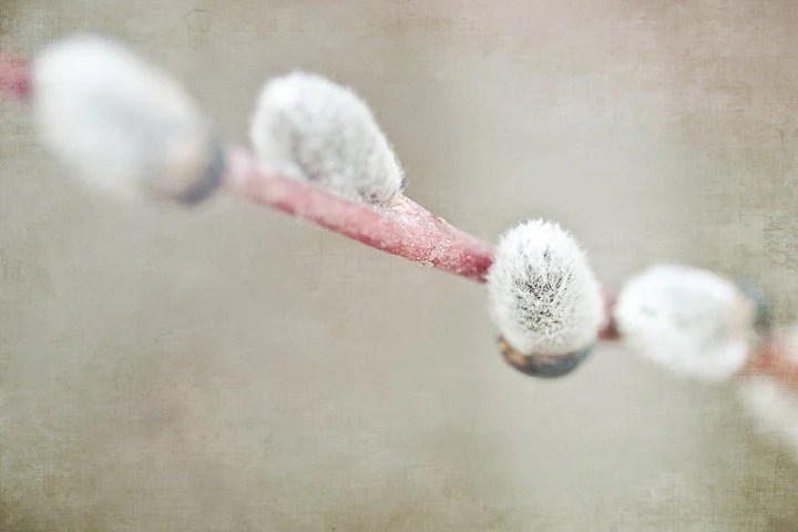 Photo of Pussy Willows - Fine Art Photo Entitled Spring Comes Softly - 8 X 12 - CarlaDyck