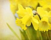 Daffodil Shine - Photograph Photography - Bright Yellow - Spring Bulb Planting - Flower Garden, Green, Easter, Daffodil Days, Decor, Sunny - gildinglilies