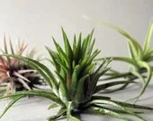 Mixed Air Plant Assortment - Your Choice - THREE // Terrarium Supplies // Home and Garden - seaandasters