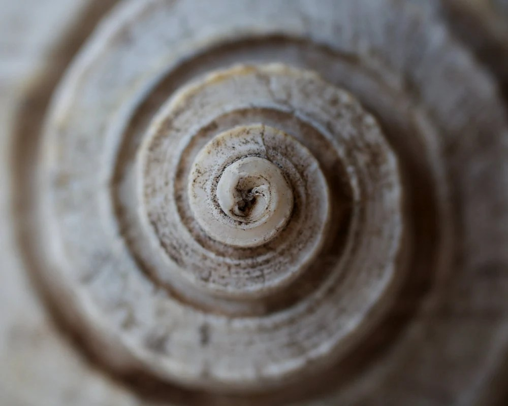 Beach Shell Spiral Macro Home Decor - 8x10 - SatoriPhoto