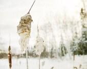 Winter nature photo, shabby chic rustic, cattail typha bulrush bullrush corndog grass, snowy plant, snowing white home decor - NancyFalsoPhotos