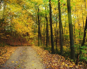 Rustic Forest Photograph - Down the Lane - 8x10 print, woodland path, fallen leaves, golden sunlight, efpteam fpoe - ErinBphoto