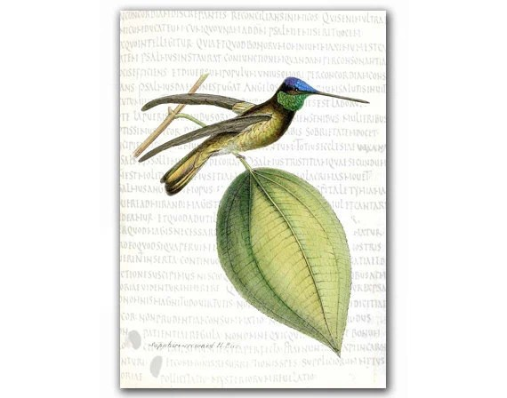Sapphire Crowned Humming Bird, vintage illustration printed on parchment paper - DejaVuPrintStore