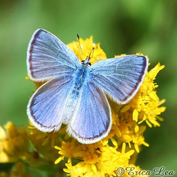 Blue Butterfly Photography, country decor, nature photo, macro butterfly picture, insect art lover gift, fine art print - NatureVisionsToo