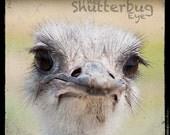 Ostrich Animal Print, Nursery Wall Decor, Animal Portrait Photography, 8x8 Modern Home Decor - TheShutterbugEye