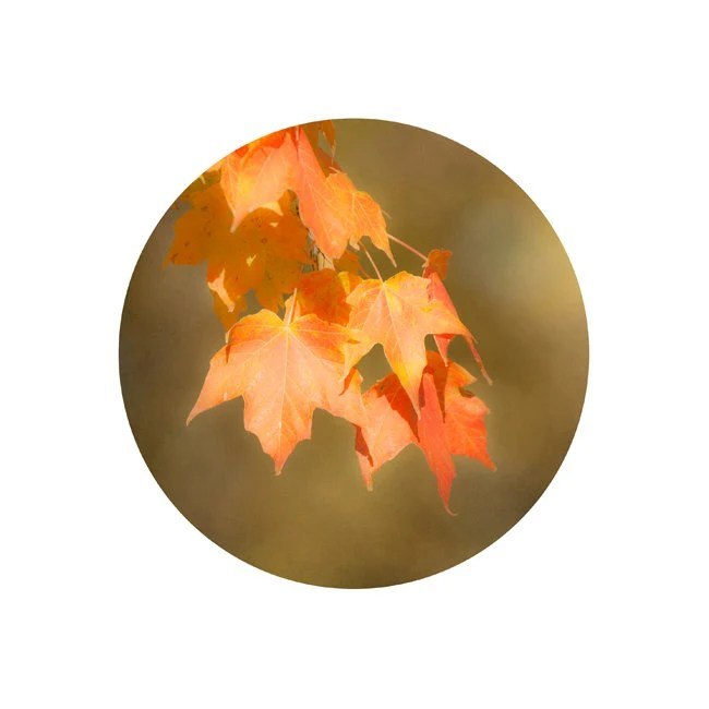 Autumn Home Decor, Maple Leaf Nature Print, Wall Decor, Burnt Orange, 12x12 Circle Photo, White Background, rust - TheShutterbugEye