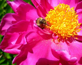 Bumblebee and peony deskt...