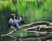 Silver River Cormorant, S...