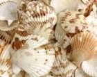 "Seashells - Brown and White Pecten Shells - 1"" - 1.75"""