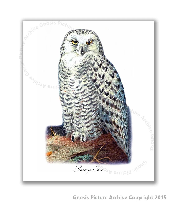 Snowy Owl Art Print 8x10 Owl Print 1 Antique Bird