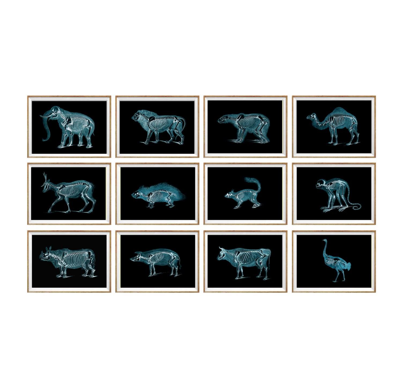Animal X Ray Art Print Set Of 12 X Ray Art X Ray Poster Man