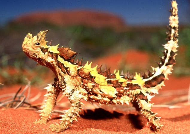 thorny-devil-1 (635x450, 98Kb)