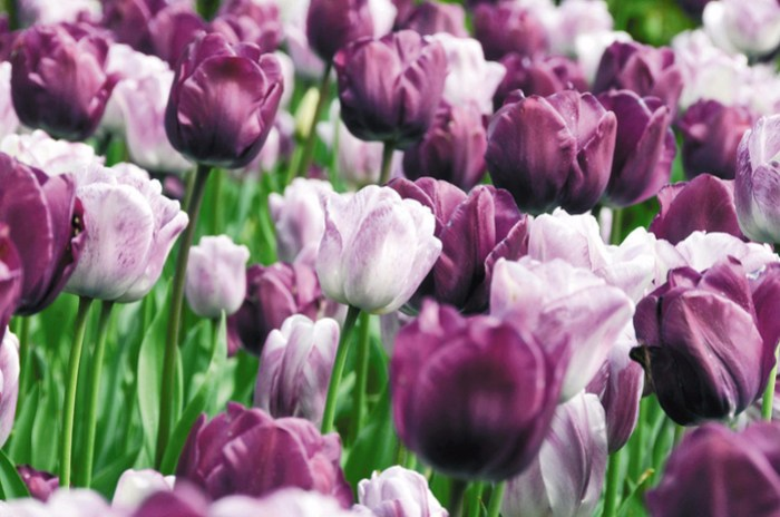 Тюльпановая симфония на Женевском озере