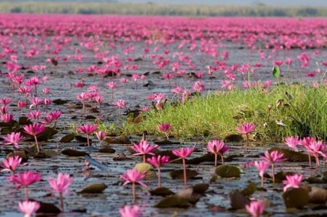 «Море красных лотосов»   очень красивое озеро в Таиланде