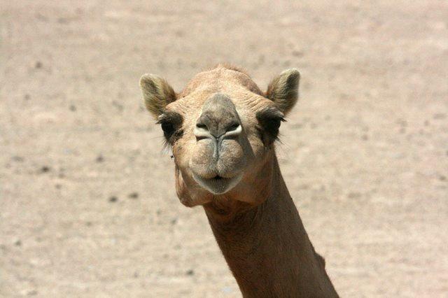 Верблюд: все наши заблуждения и фотографии животных в пустыне