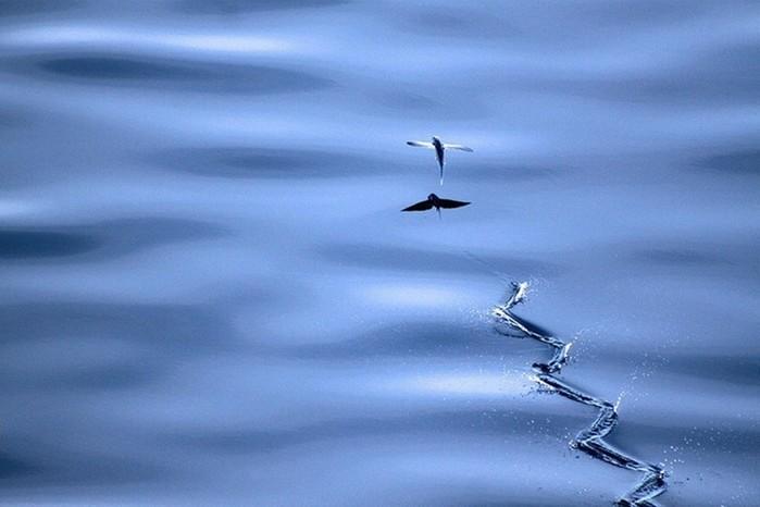 Как летают летающие рыбы?