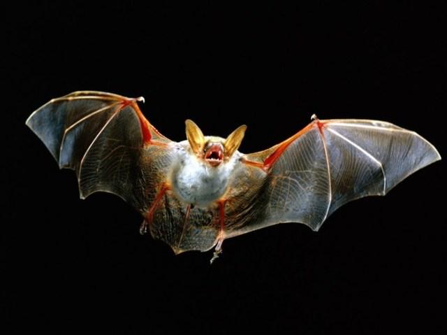 Как видят летучие мыши? Как устроено их ультразвуковое зрение
