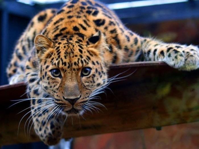 Самые сильные укусы в мире животных