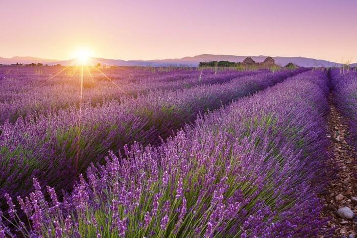 Красота лавандовых полей Франции в фотографиях