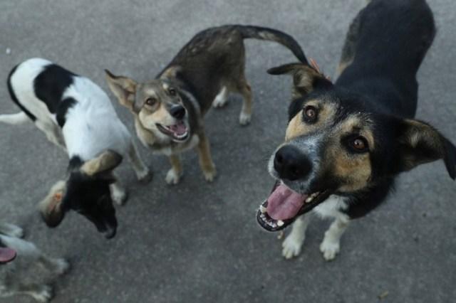 Программа «Собаки Чернобыля»— работа ветеринаров и экспертов по радиации в зоне отчуждения
