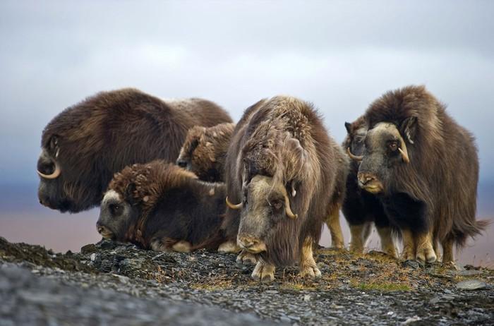 Безумное разнообразие фауны на острове Врангеля