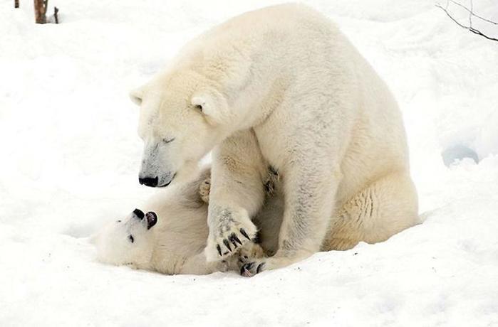 Очаровательный белый медвежонок с мамой медведицей в финском парке