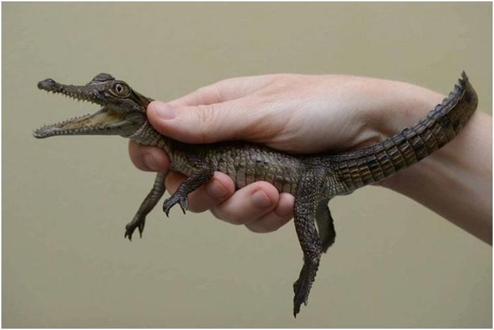 Удивительно интересные факты о крокодилах
