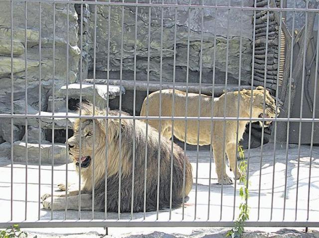 Мужчина прожил 35 дней в клетке со львами и даже принял роды у львицы