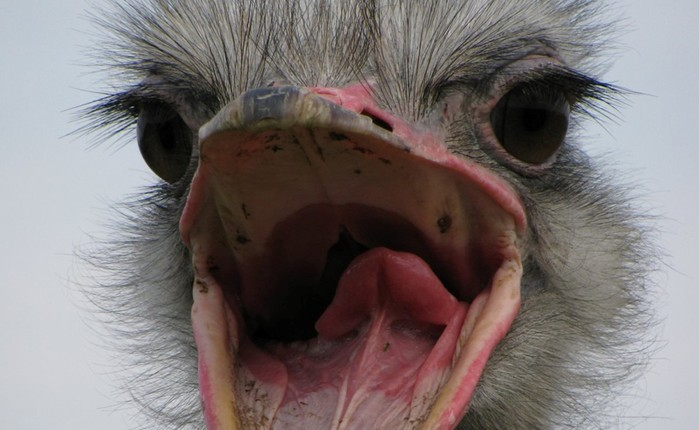 Птенцы казуара убийцы