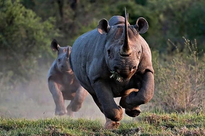 Носорог: главные заблуждения и интересные факты