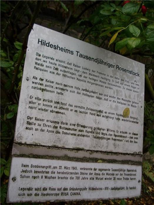 Тысячелетняя роза Хильдесхайма— удивительное чудо природы