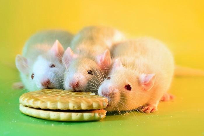 Очаровательные крысиные портреты
