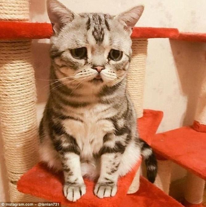 Самая грустная кошка в мире по кличке Луху
