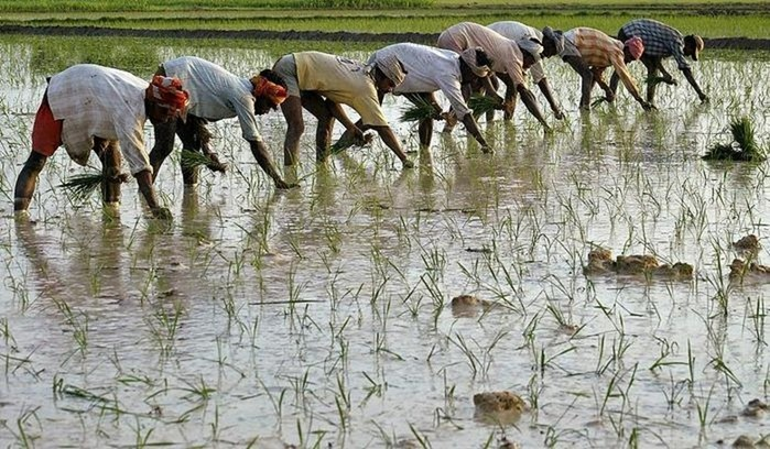 Как на самом деле растет рис?