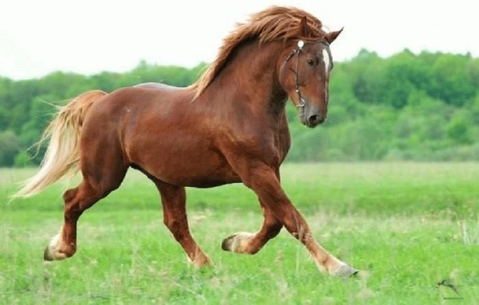 Лошади тяжеловозы: главные породы, фотографии