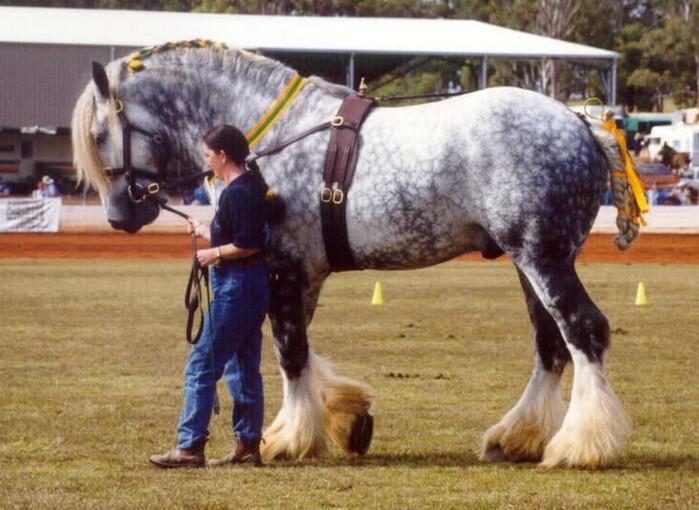 Самая сильная лошадь в мире