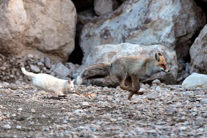 Кот и лис: фотографии лучших друзей среди животных