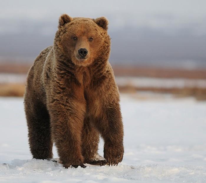 Весенние мишки: как камчатские медведи просыпаются после зимней спячки