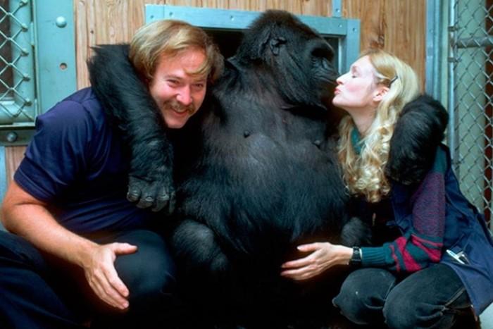 5 удивительных фактов о знаменитой горилле Коко, которая всю жизнь училась