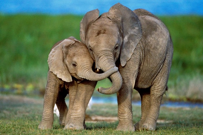 Слоны: подборка очень интересных фактов и заблуждений об этих животных