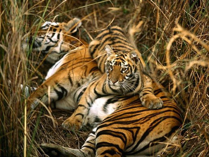 Бенгальские и амурские тигры