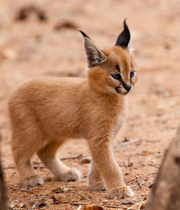Детеныши каракала: самые милые котята на планете. Если не считать бархатных кошек!
