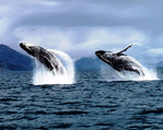 Превью kodiak_alaska_whale_watching_by_lodgeafognak-d8b0j58 (700x559, 377Kb)