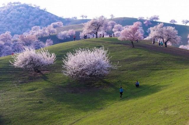 Цветение Долины Абрикосов в провинции Синьцзян