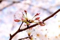 「蕾が咲く日を待ちわびて・・・・」 明日を入試を迎える受験生達へ
